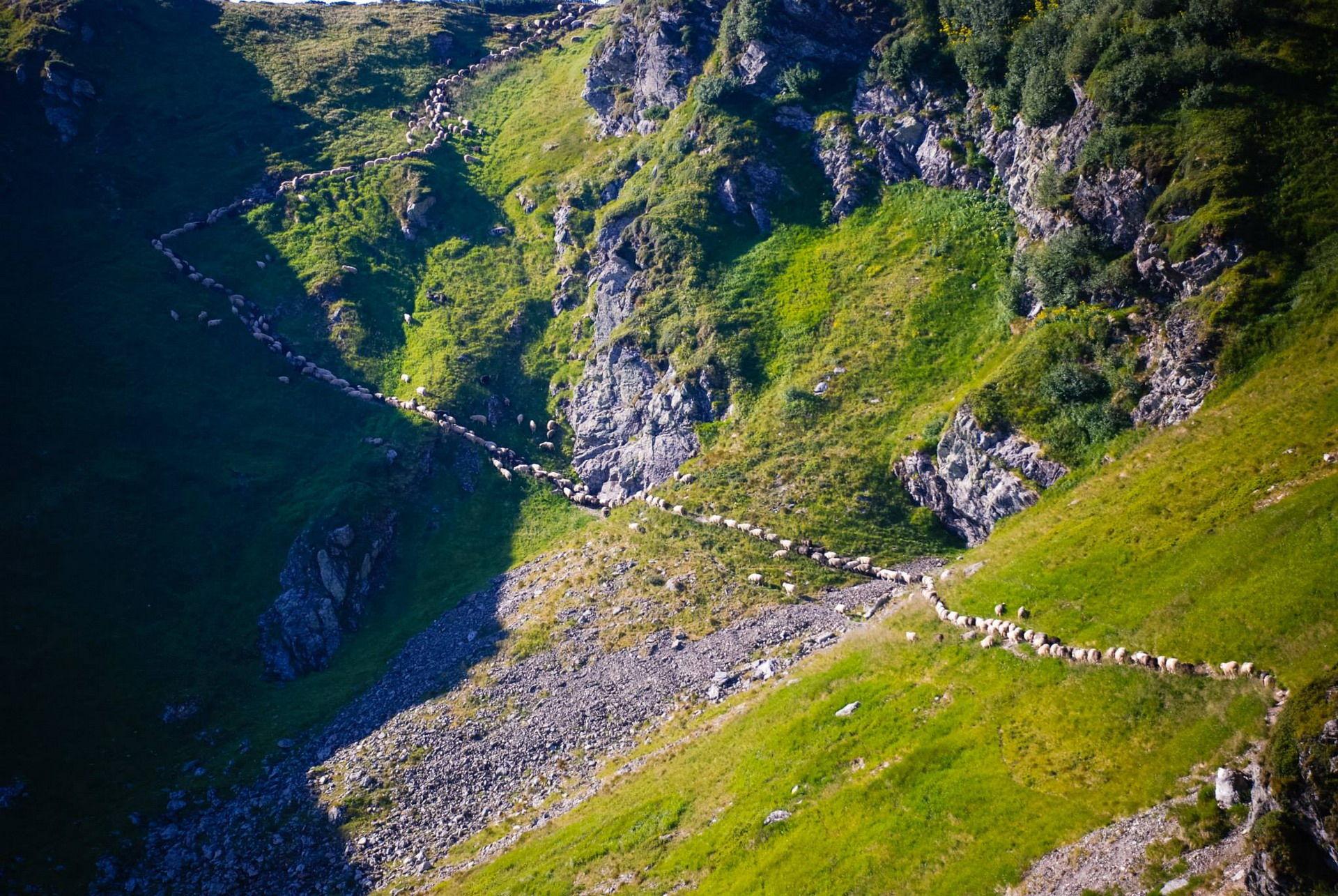 Отара овець підкорює Мармароси